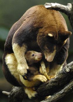 Mother and baby tree kangaroo