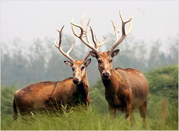 The deer's massive horns are deadly weapons