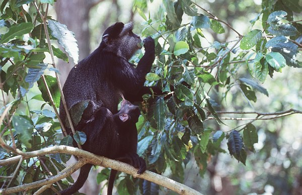 Blue Monkeys spend most of their lives high in the treetops