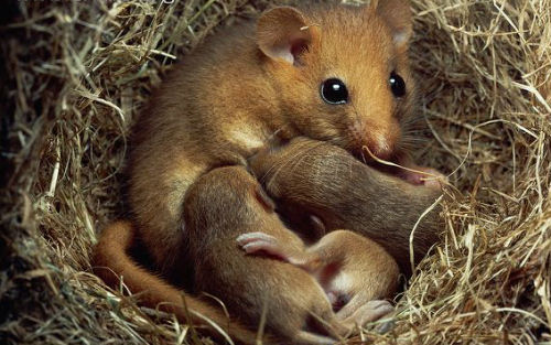 A female Dormouse with her babies in the nest