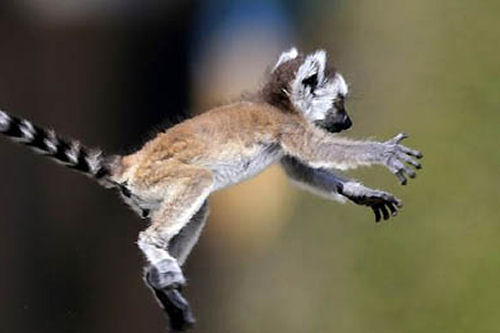 One of the first things a young Ring-tailed Lemur learns is to jump, using the tail as a steering device