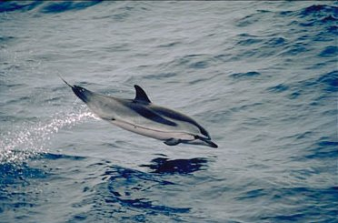 Striped Dolphins can be found worldwide