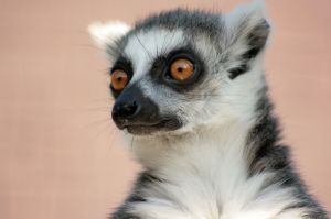 A ring tailed lemur