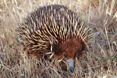 shortbeak echidna e1300853305976 10 of the Worlds Spikiest Living Things
